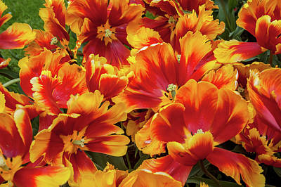 Photograph - Bright Parrot Tulips In Full Bloom by Jenny Rainbow