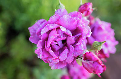 Photograph - Bright Purple Flower At Lake Tahoe by Doug Ash