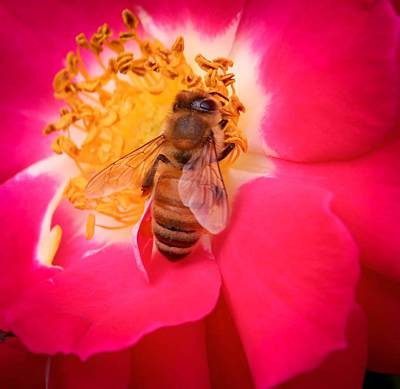 Photograph - Brilliant Bee by Susan Rydberg