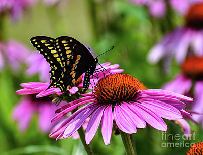 Animal Paintings David Stribbling - Brilliant Black Swallowtail by Cindy Treger