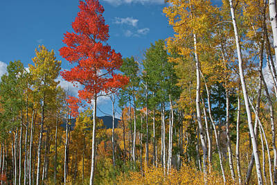 Photograph - Brilliant Red Aspen by Cascade Colors