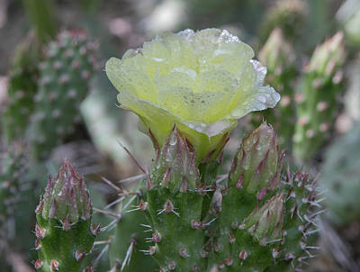 Photograph - Brittle Prickly Pear by Kent Keller