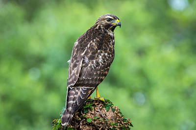 Photograph - Broad-winged Hawk by David Morefield