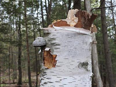 Christmas Trees - Broken Birch by Betty-Anne McDonald