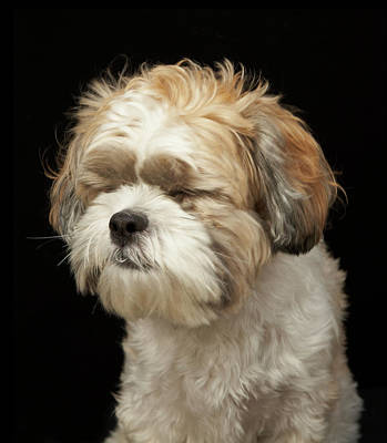 Eyes Closed Photograph - Brown And White Shih Tzu With Eyes by M Photo