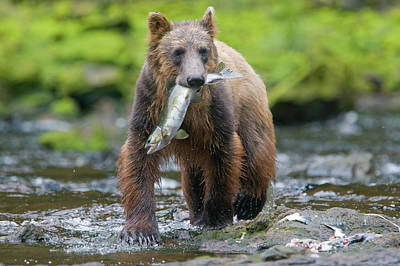 Photograph - Brown Bear And Sockeye Salmon, Alaska by Paul Souders