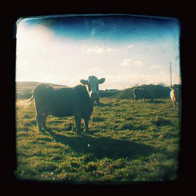 Art Prints Photograph - Brown Cow With Sun Rays by Jo Bradford / Green Island Art Studios