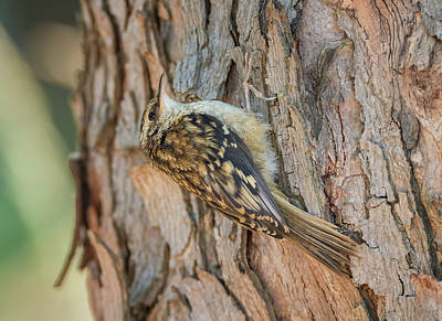 Photograph - Brown Creeper Creeping by Loree Johnson