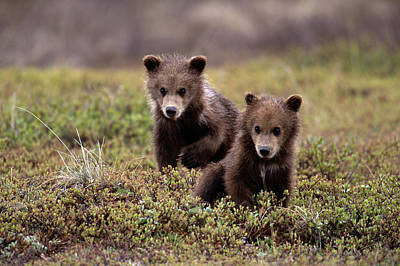 Photograph - Brown Grizzly Bear Spring Cubs by Eastcott Momatiuk