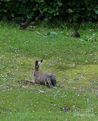 Photograph - Brown Hare And Blackbirds by Phil Banks