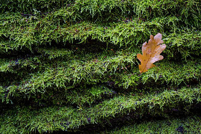 Photograph - Brown oak leaf on wet moss by Robert Pastryk