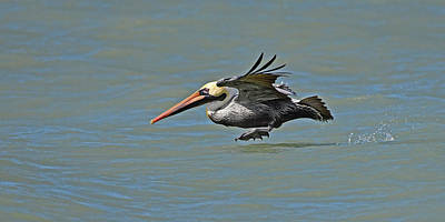 Photograph - Brown Pelican Gliding by Ken Stampfer