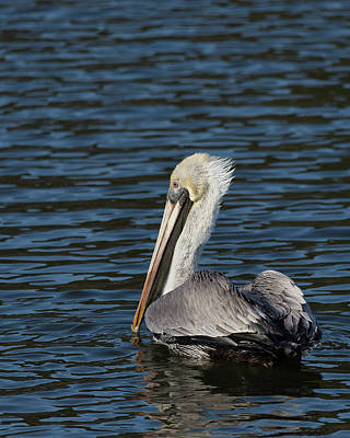 Photograph - Brown Pelican by Jemmy Archer