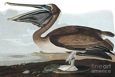 Painting - Brown Pelican, Pelecanus Fuscus By Audubon by John James Audubon