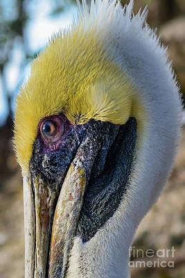 Photograph - Brown Pelican Portrait  by Olga Hamilton