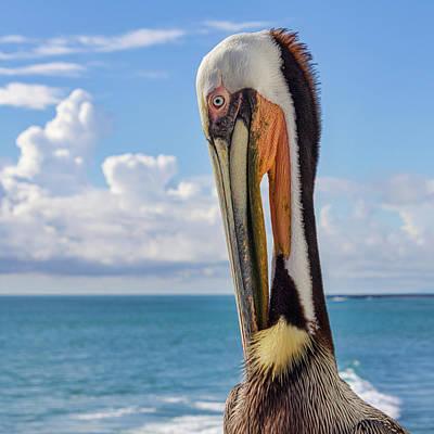 Photograph - Brown Pelican Portrait by Randy Bayne