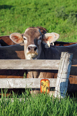 Photograph - Brown Swiss Stare by Todd Klassy