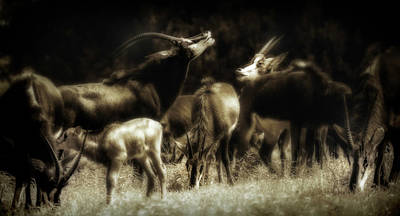 Photograph - Call of the Sable 4336 by Barry Styles
