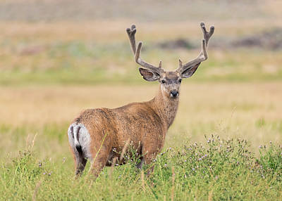 Photograph - Buck In Velvet by Loree Johnson