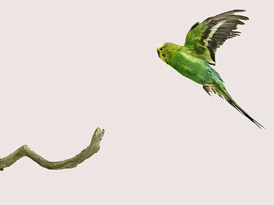 Branch Photograph - Budgie Landing On To A Branch by Michael Blann