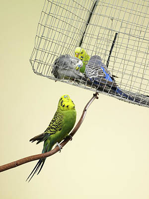 Trapped Photograph - Budgie Looking At Other Caged Budgies by Michael Blann