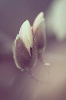 Photograph - Buds Of Zen Magnolia by Jenny Rainbow