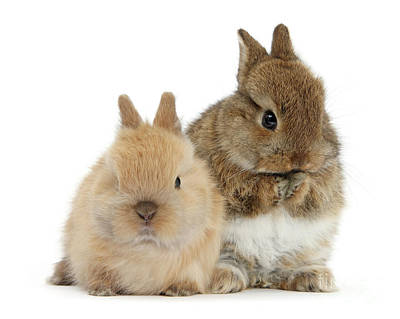 Photograph - Buff Love Bunnies by Warren Photographic