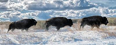 Art Print featuring the photograph Buffalo Charge.  Bison Running, Ground Shaking When They Trampled Through Arsenal Wildlife Refuge by OLena Art Brand