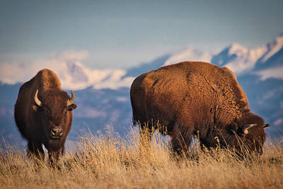 Photograph - Buffalo Grazing At Dawn by Kevin Schwalbe