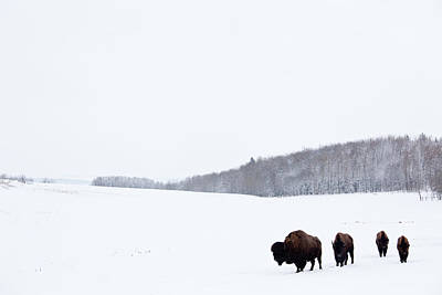 Walking Photograph - Buffalo Or Bison On The Plains In Winter by Imaginegolf