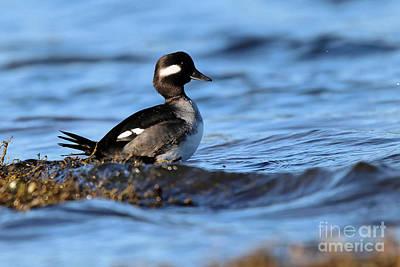 Photograph - Bufflehead In The Lagoon by Sue Harper