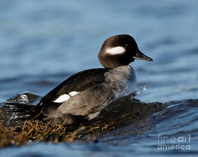Photograph - Bufflehead Riding The Waves by Sue Harper
