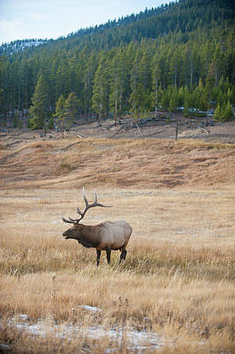 Photograph - Bull Elk Bugles by Mark Duehmig