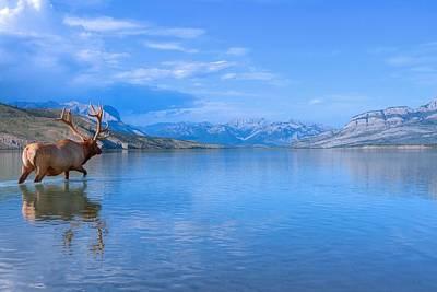 Photograph - Bull Elk In Jasper Lake by James Anderson