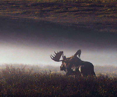 Autumn Photograph - Bull Moose Alces Alces Walking Through by Johnny Johnson