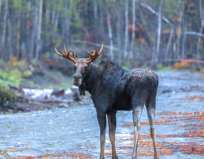 Photograph - Bull Moose At Moosehead Lake by Dan Sproul