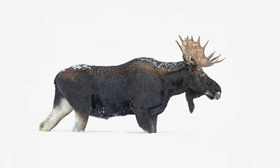 Wall Art - Photograph - Bull Moose In The Snow by Martin Belan