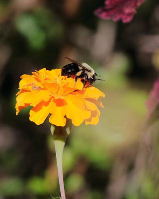 Photograph - Bumble Bee 3440 by John Moyer