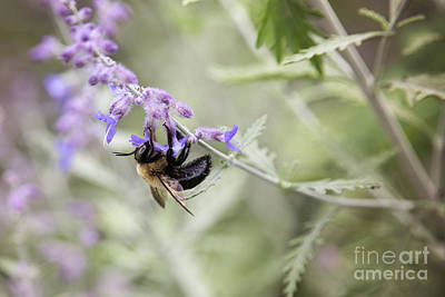 Photograph - Bumblebee And Lavender by Sharon McConnell