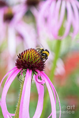 Photograph - Bumblebee On Echinacea Simulata Flower by Tim Gainey