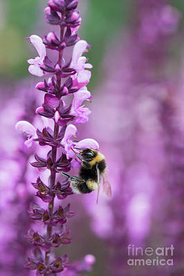 Photograph - Bumblebee On Salvia Flowers by Tim Gainey