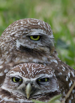 Animal Family Photograph - Burrowing Owl Baby And Mother Marathon by Jim Austin Jimages Digital Photography