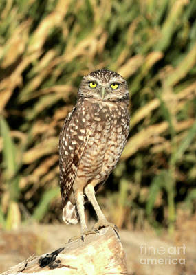 Photograph - Burrowing Owl In The Corn by Carol Groenen