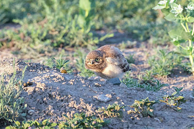 Vermeer Rights Managed Images - Burrowing Owl Owlet Hunkers Down Royalty-Free Image by Tony Hake