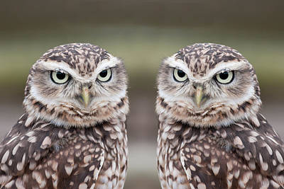 Owl Wall Art - Photograph - Burrowing Owls by Tony Emmett