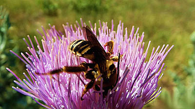 Digital Art - Busy Bee On Purple Thistle Flower by Shelli Fitzpatrick