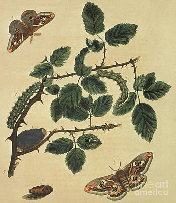 Painting - Butterflies, Caterpillars And Plants Plate 1 by J Dutfield