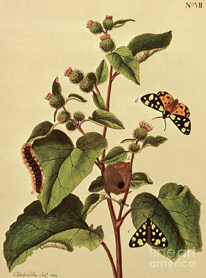 Painting - Butterflies, Caterpillars And Plants  Plate Vii by J Dutfield