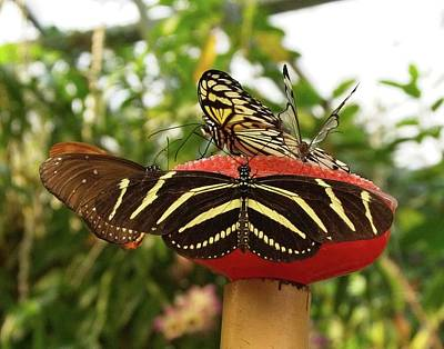 Photograph - Butterflies by Charles HALL