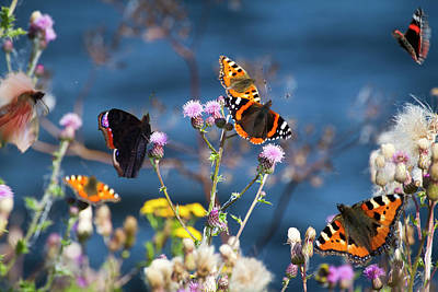 Insect Photograph - Butterflies Sitting On Flower by Www.wm Artphoto.se